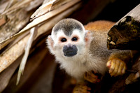 Squirrelmonkey